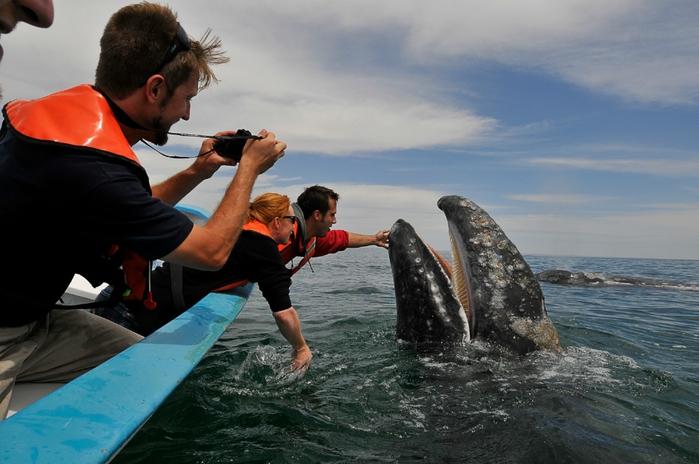 серый кит фото 2 (700x464, 232Kb)