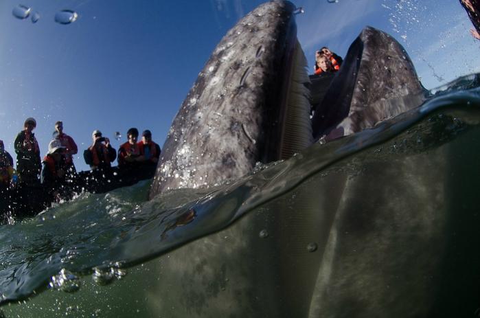 серый кит фото 6 (700x463, 224Kb)