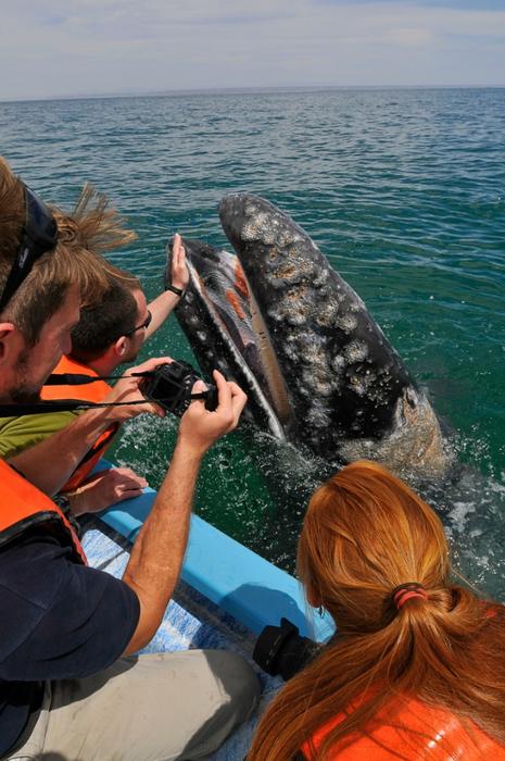 серый кит фото 8 (465x700, 421Kb)