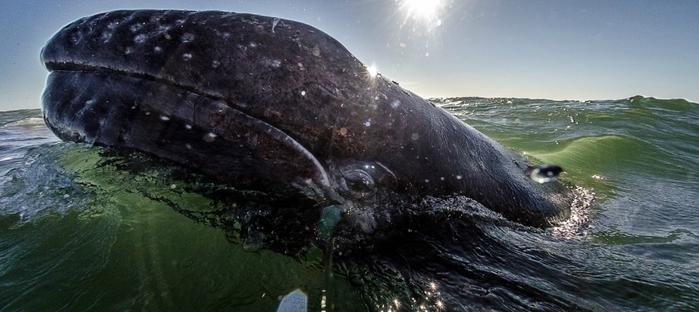серый кит фото 10 (700x312, 176Kb)