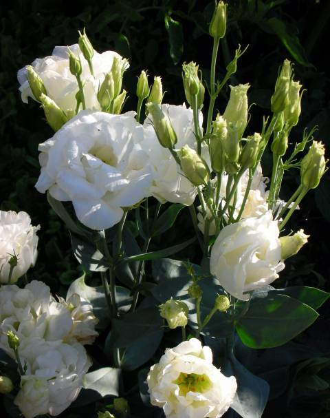 Eustoma9 (480x607, 44Kb)