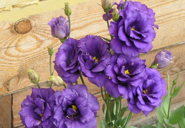 Eustoma11 (640x442, 47Kb)