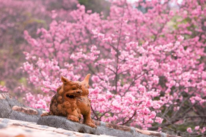 цветение сакуры в японии фото 3 (700x466, 331Kb)