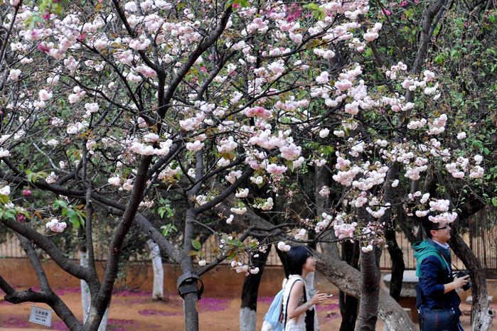 цветение сакуры в японии фото 5 (700x466, 481Kb)