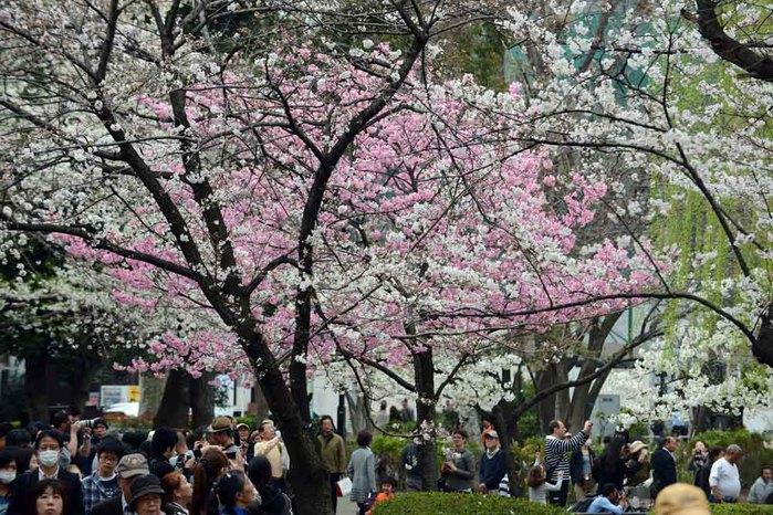 цветение сакуры в японии фото 9 (700x466, 145Kb)
