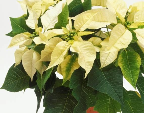 34 Комнатный цветок Пуансетия красивая: выращивание, уход, фото.  Фото комнатных цветов: пуансетия красивая...