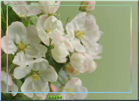 Цвет-яблони (450x328, 203Kb)