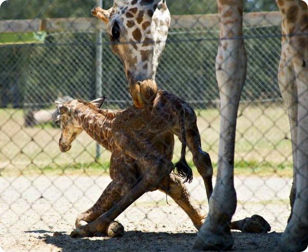 жираф фото (600x491, 106Kb)