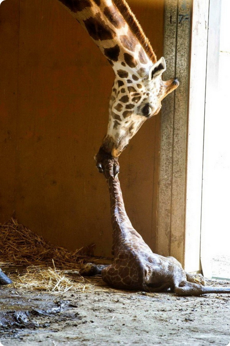 жираф фото 2 (465x700, 341Kb)