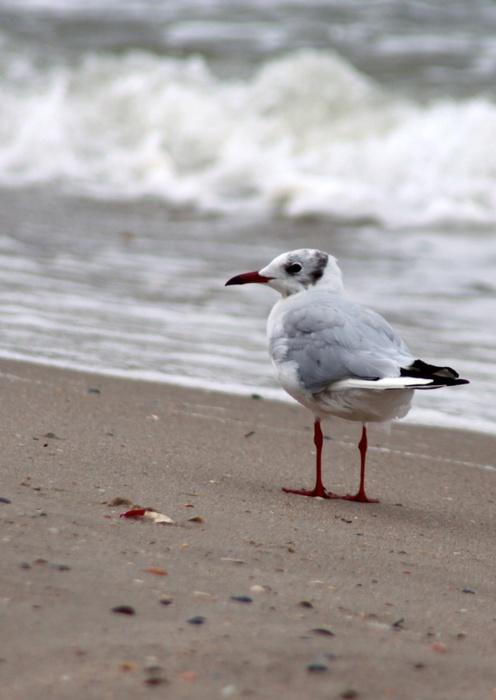 Морская-чайка-1353595531_87 (496x700, 81Kb)