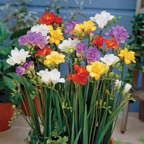 Freesia_double (500x500, 107Kb)