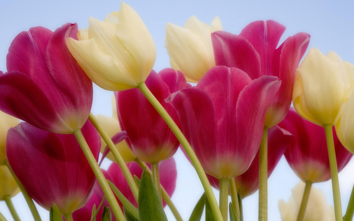 tulips__sky-wide (700x437, 292Kb)