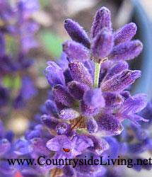 4552223_Lavenderofficinalis_fl (215x250, 19Kb)