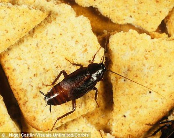 3085196_cockroach (613x487, 92Kb)