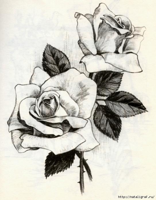 рисунки розы карандашом: