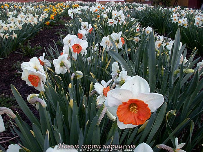 Нарциссы цветы сорта