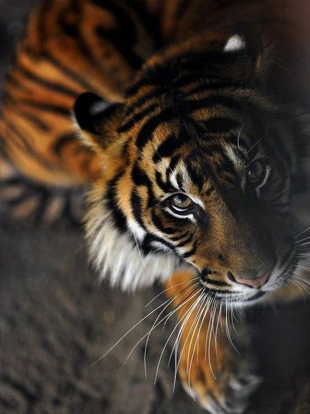 красивые картинки тигра