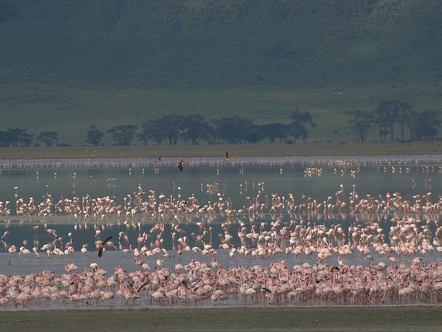 фламинго фото озеро натрон в танзании 1 (640x480, 121Kb)