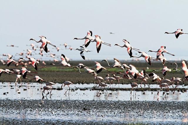 фламинго фото озеро натрон в танзании 3 (640x426, 191Kb)