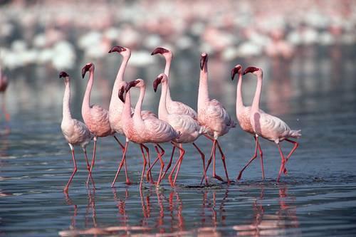 4171694_flamingo_foto_ozero_natron_v_tanzanii_4 (500x333, 25Kb)