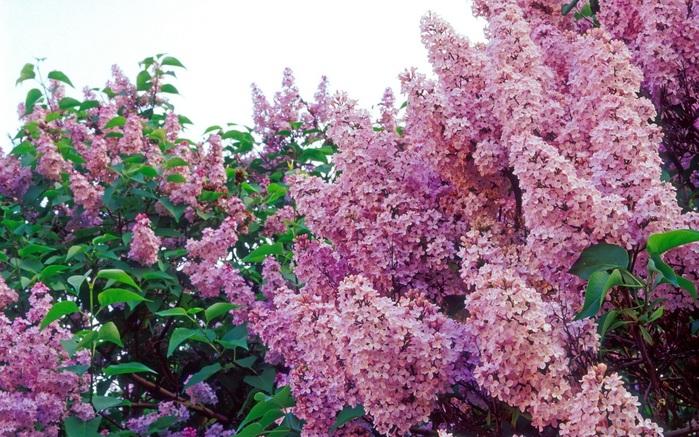 Картинки цветы сирень 8