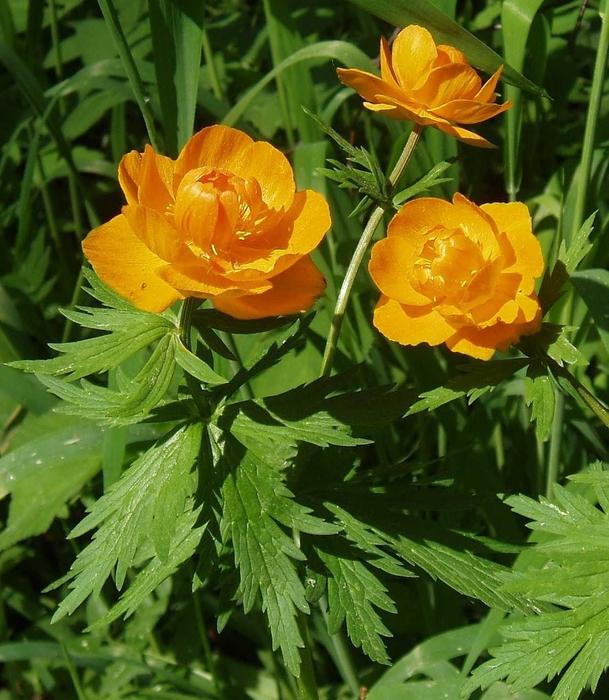 Картинки цветка италмас 3
