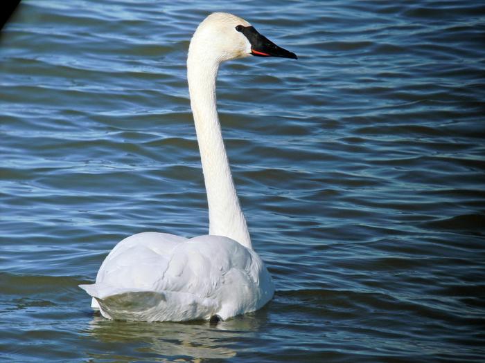 swan-hd-wallpaper (700x525, 481Kb)