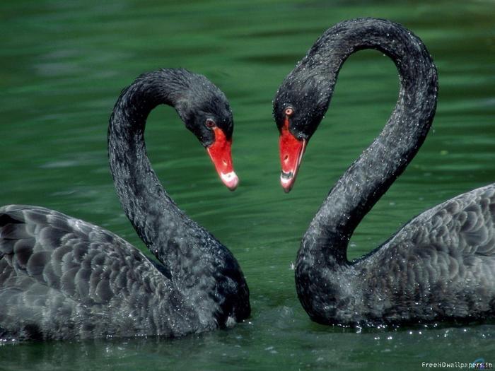 swan-love-wallpaper (700x525, 391Kb)