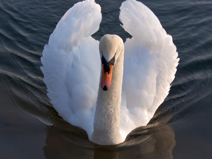 swan-on-lake-wallpaper (700x525, 278Kb)