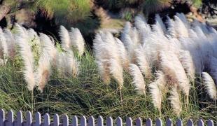 многолетние травы для сада (310x180, 39Kb)