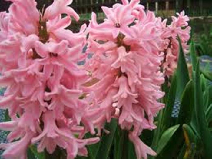 Цветы гиацинты картинки 6