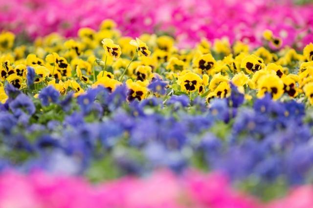 фестиваль цветов в гонгконге 2013 10 (640x426, 192Kb)