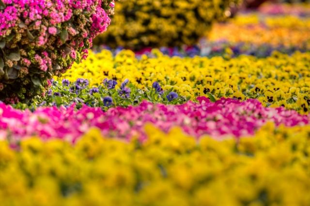 фестиваль цветов в гонгконге 2013 12 (640x426, 224Kb)