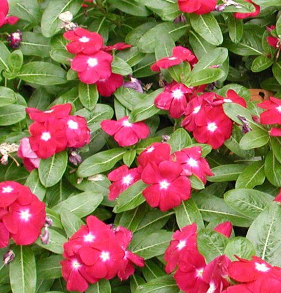 Цветы катарантус садовые