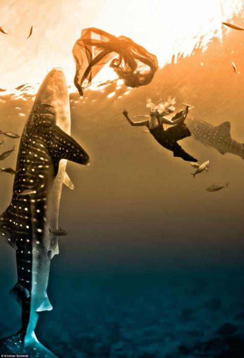 китовая акула фото 6 (477x700, 276Kb)