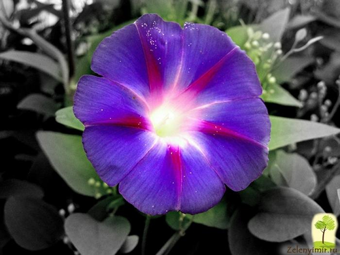 Фото цветы глория
