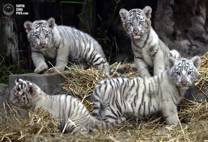 белые тигры фото (700x476, 152Kb)