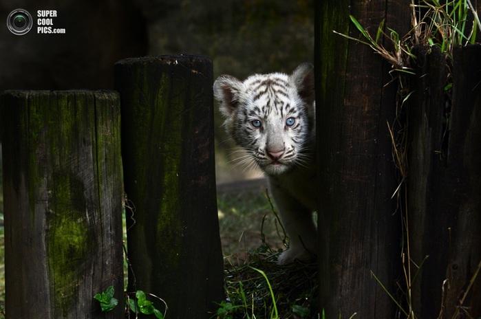 белые тигры фото 2 (700x464, 94Kb)