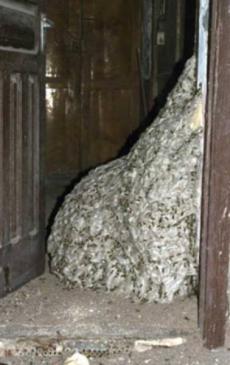 Гигантское осинное гнездо (230x365, 64Kb)