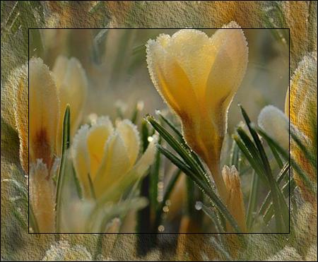 Желтые-крокусы (450x371, 329Kb)