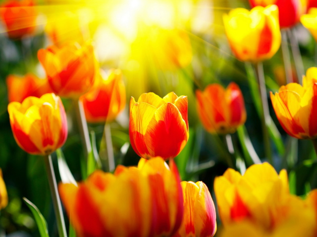 http://img0.liveinternet.ru/images/attach/c/8/99/711/99711522_large_Nature_Flowers_Beautiful_Tulips_032955_29.jpg