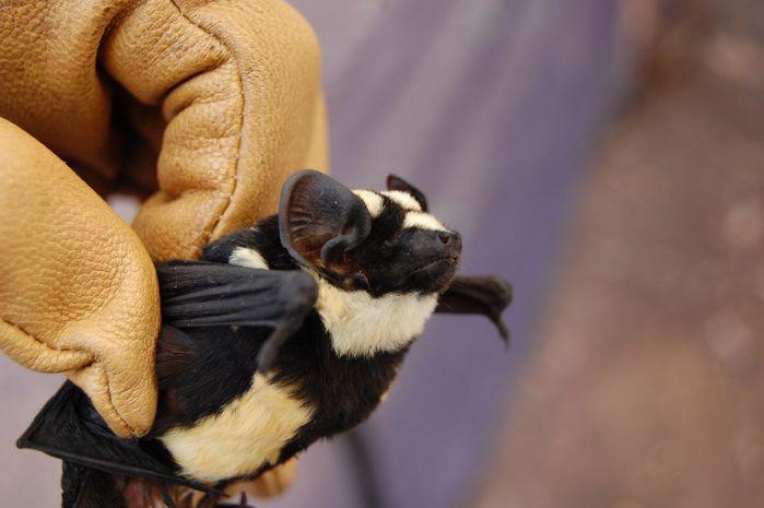 Исследователи обнаружили летучую мышь-панду