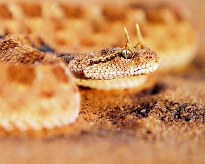 4080226_Animals_Reptiles_Sandy_horned_snake_033209_ (700x560, 243Kb)