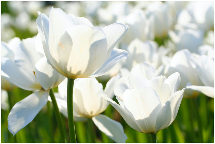 3303834_white_tulips_23 (700x469, 56Kb)