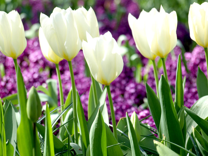 3303834_white_tulips_24 (700x525, 101Kb)