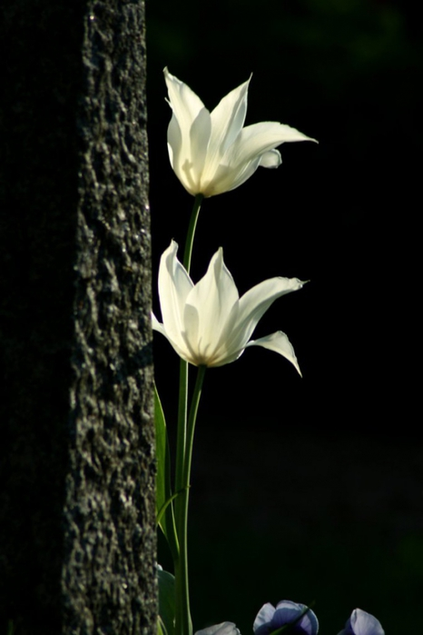 3303834_white_tulips_16 (466x700, 131Kb)