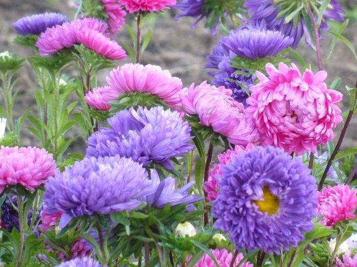 Пионовидные розы купить саженцы 3