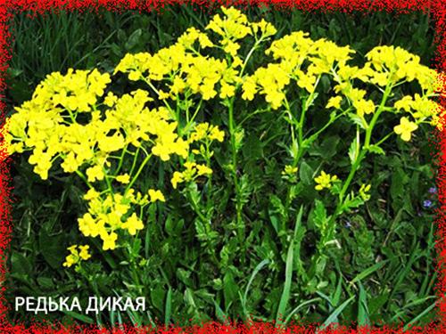 3755121_redkadikaya (500x375, 136Kb)