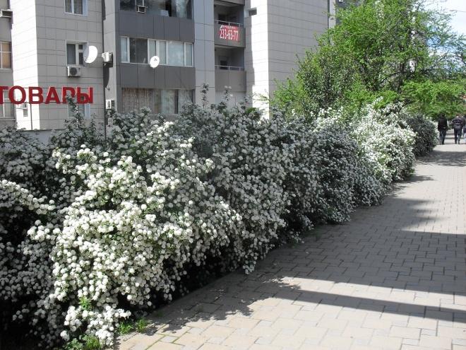цветет спирея вангутта (660x495, 218Kb)