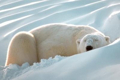 Белый медведь (400x267, 60Kb)